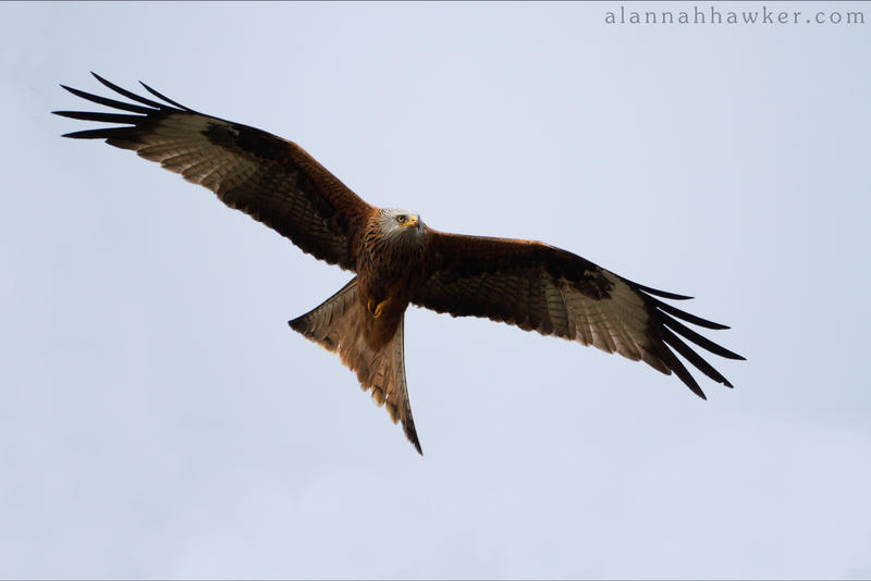 Red Kite by Alannah-Hawker