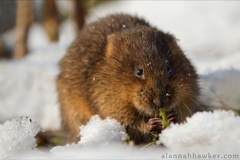 Water Vole 03 by Alannah-Hawker