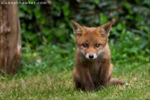 Fox Cub 17 by Alannah-Hawker