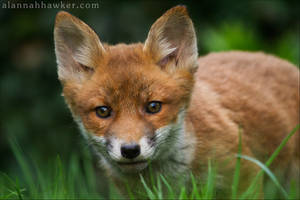 Fox Cub  2012-2 by Alannah-Hawker