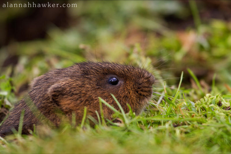 Water Vole 04 by Alannah-Hawker