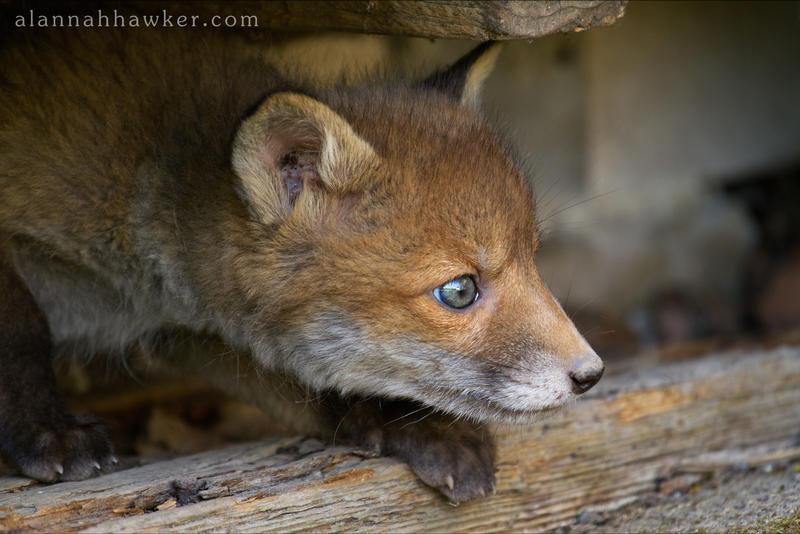 Urban Fox by Alannah-Hawker