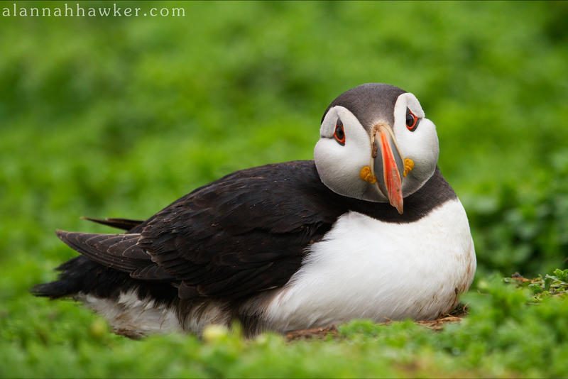 Sad Puffin! by Alannah-Hawker
