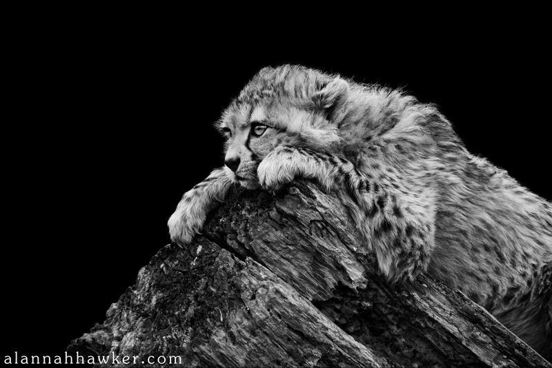 Cheetah 12 by Alannah-Hawker