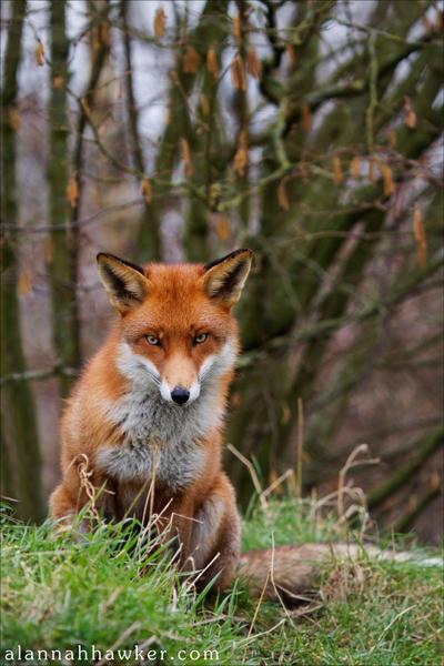 Fox by Alannah-Hawker