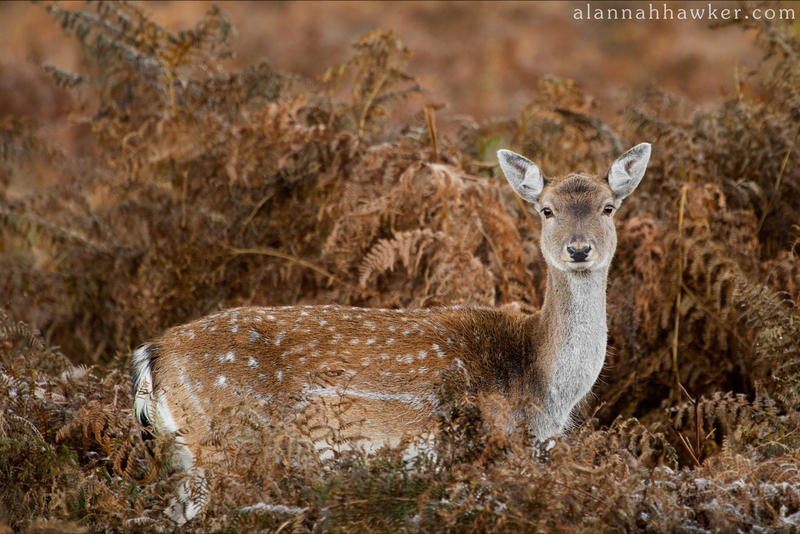 Deer 02 by Alannah-Hawker