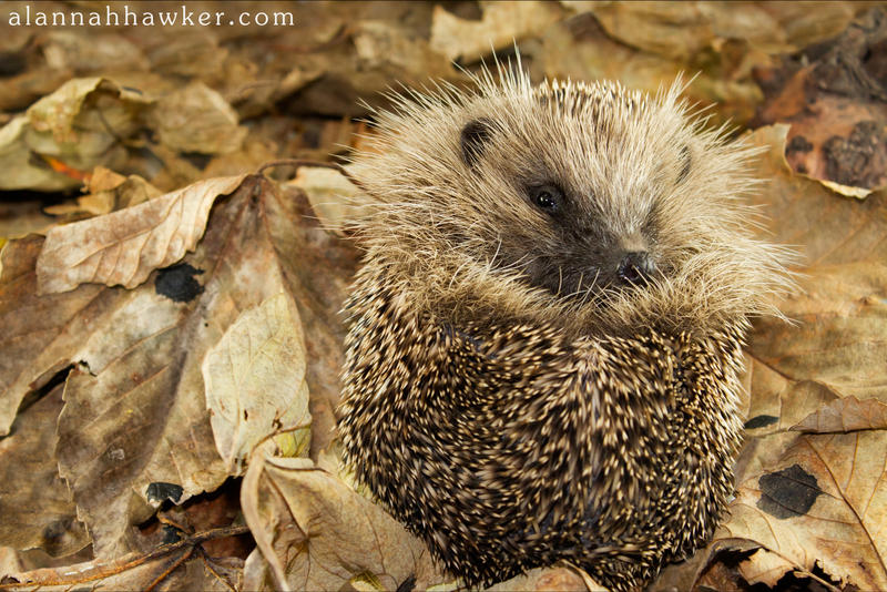Hedgehog by Alannah-Hawker