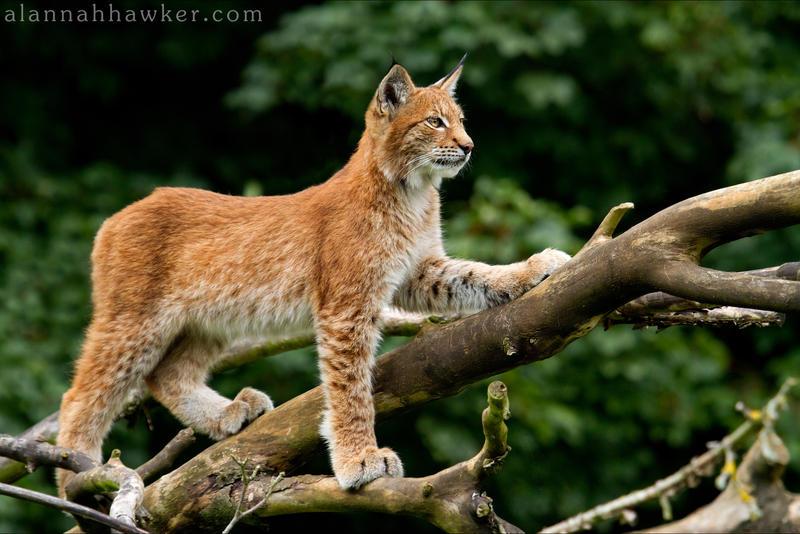 Lynx Cub 07 by Alannah-Hawker