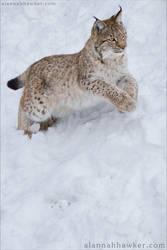 Lynx Cub 08