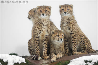 Cheetah 16 by Alannah-Hawker