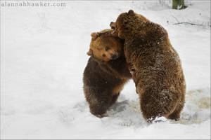 Bears by Alannah-Hawker