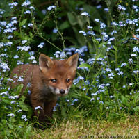 Fox Cub 19 by Alannah-Hawker