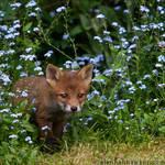 Fox Cub 19