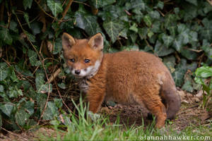 Fox Cub 20 by Alannah-Hawker