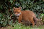 Fox Cub 20