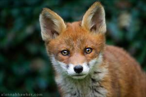 Fox Cub 21 by Alannah-Hawker