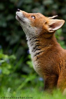 Fox Cub 22