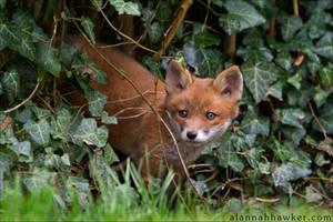 Fox Cub 23 by Alannah-Hawker