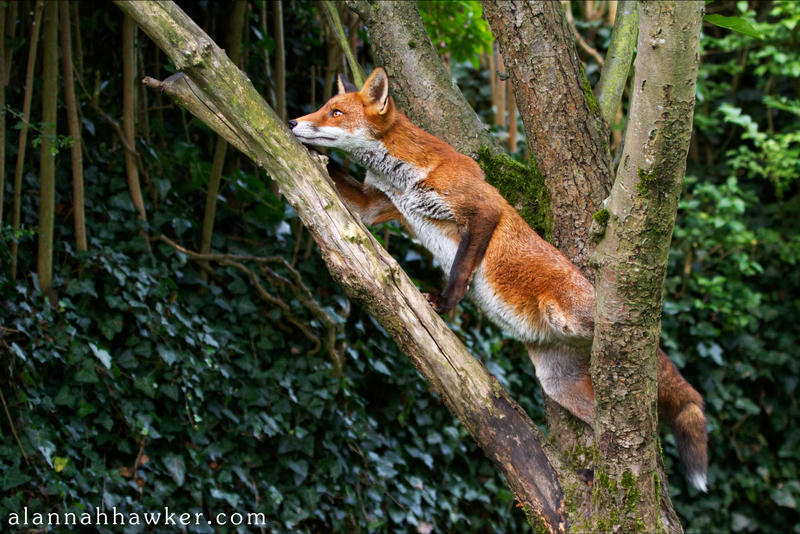 Climber by Alannah-Hawker