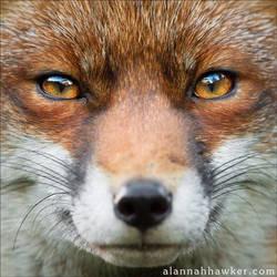 Foxy by Alannah-Hawker