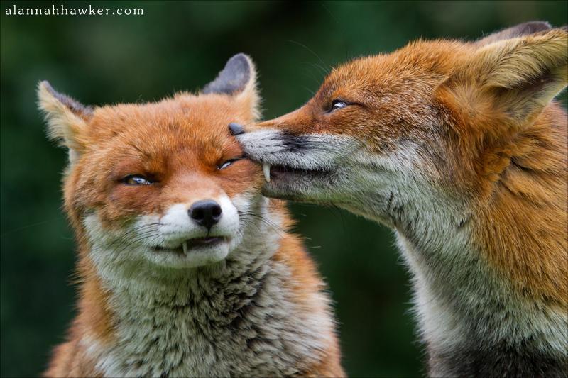 Foxy Kisses 3 by Alannah-Hawker