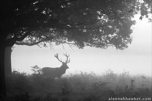 Morning Deer by Alannah-Hawker