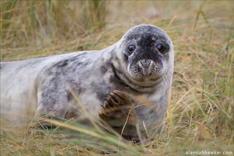 Seal 1 by Alannah-Hawker