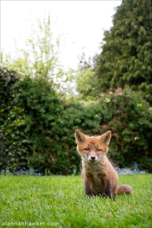 Fox Cub by Alannah-Hawker