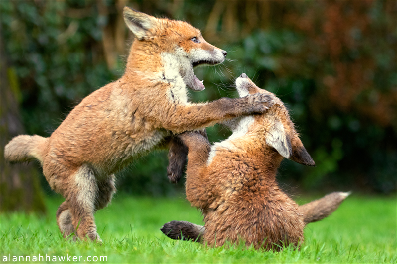 Play Fight by Alannah-Hawker