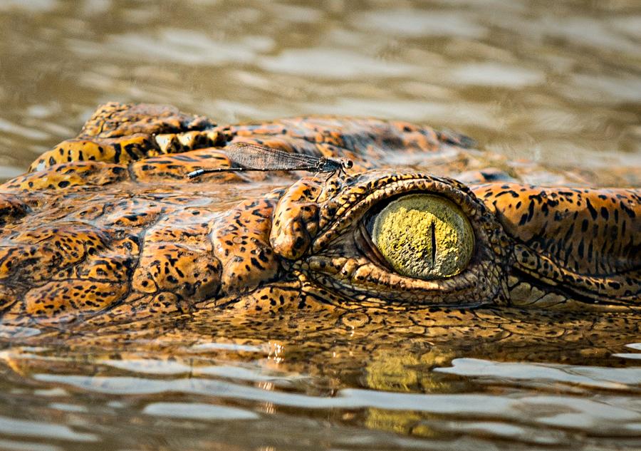 Crocodile Eye and Damselfly by peterohara