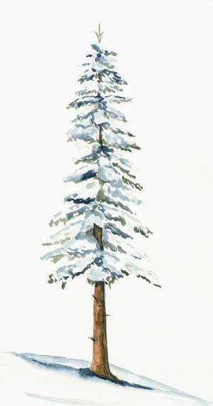 Snowy Pine Study