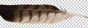 Red-tailed hawk feather PNG