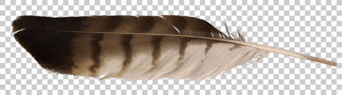Red-tailed hawk feather PNG by raduluchian