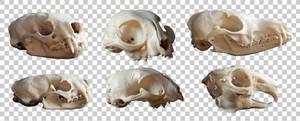 Animal skulls PNG