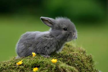 Buttercup Bunny