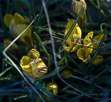 Yellow Crocus by Ravensilver