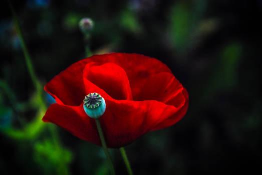 Poppy 4 by Ravensilver