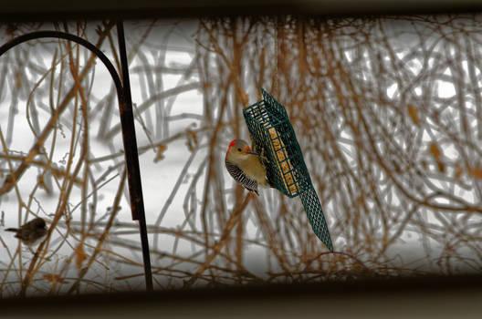 Red-bellied Wood Pecker, female.