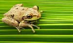 Cuban Tree Frog by flowerhippie22