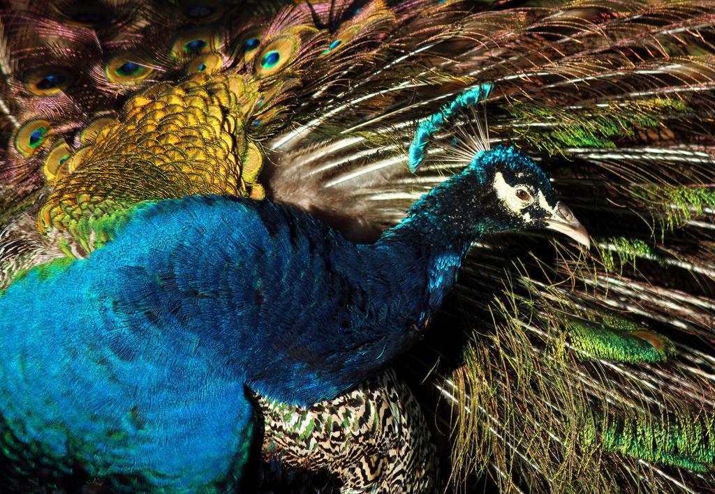 Preening Peacock by flowerhippie22
