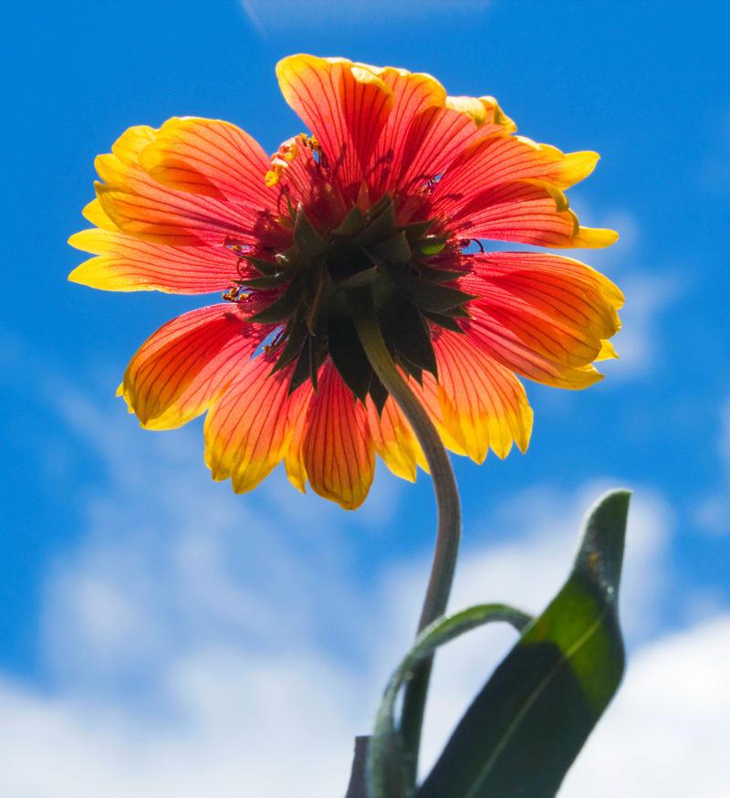 Gaillardia pulchella by flowerhippie22