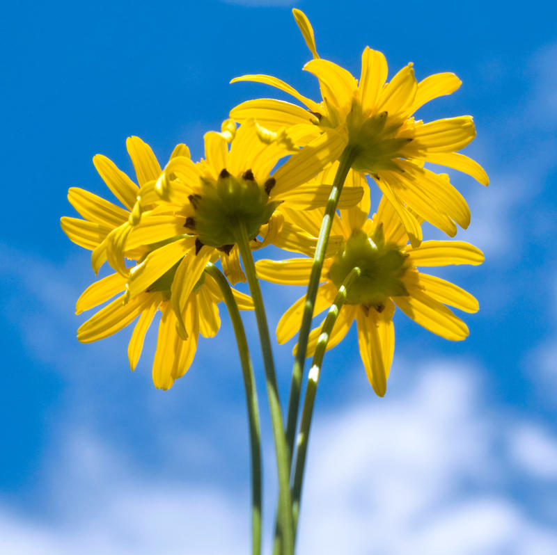 Coreopsis by flowerhippie22