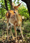 White-tailed Fawn by flowerhippie22
