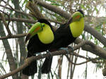 Toucan Two-step