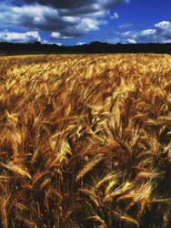 Wheatfield by Minimus76