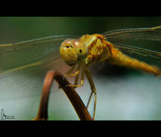 Yellow Dragonfly.... by nimitnigam