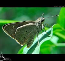 Indian Moth... by nimitnigam