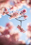 Cherry Blossoms in sunlight