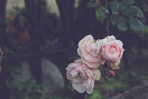 Last Rose Of The Year by Hazel-Photography