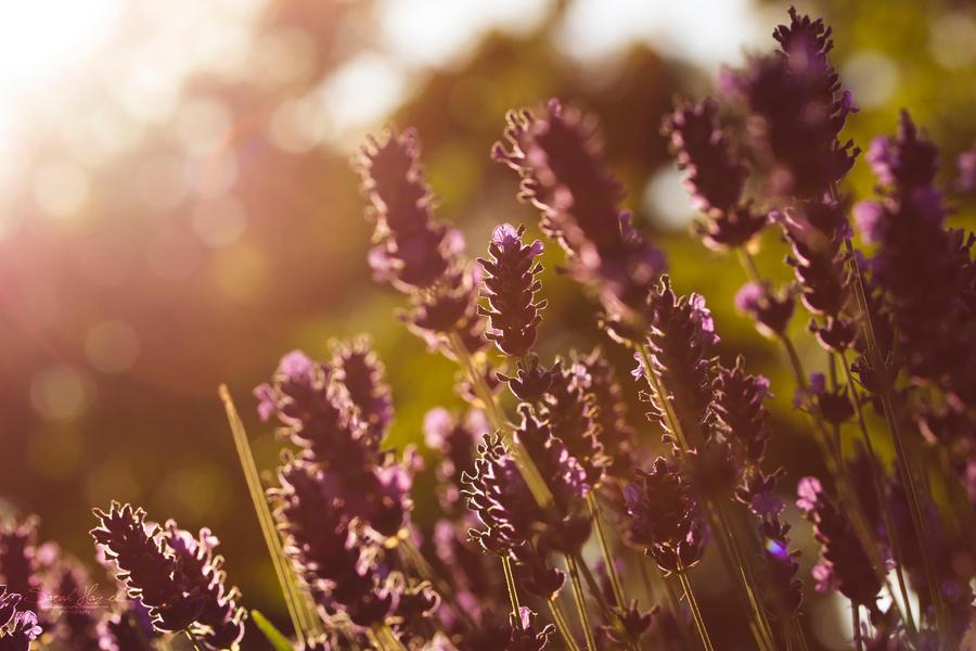 Lavendel Im Sonnenuntergang by Hazel-Photography